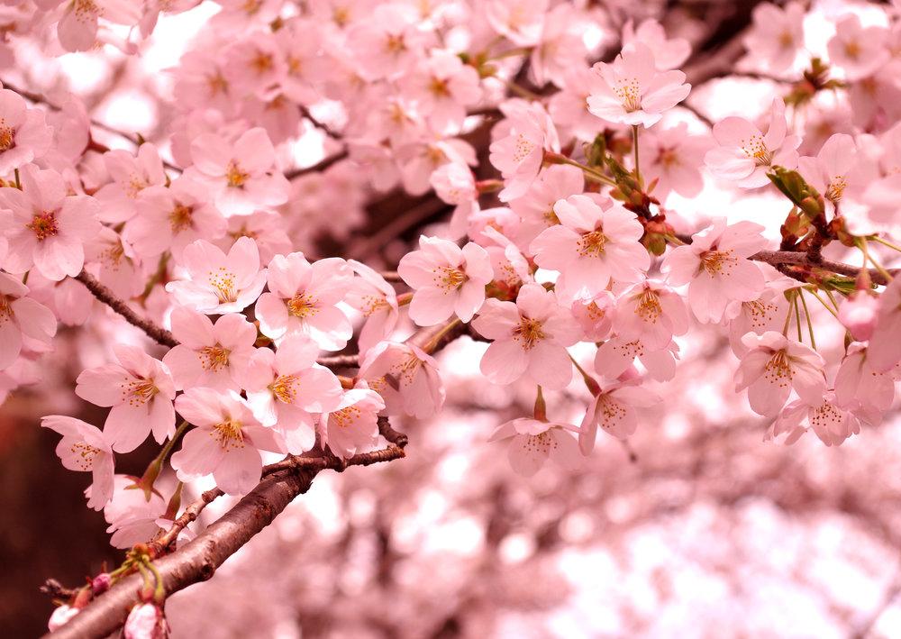 cherryblossoms_6.jpg