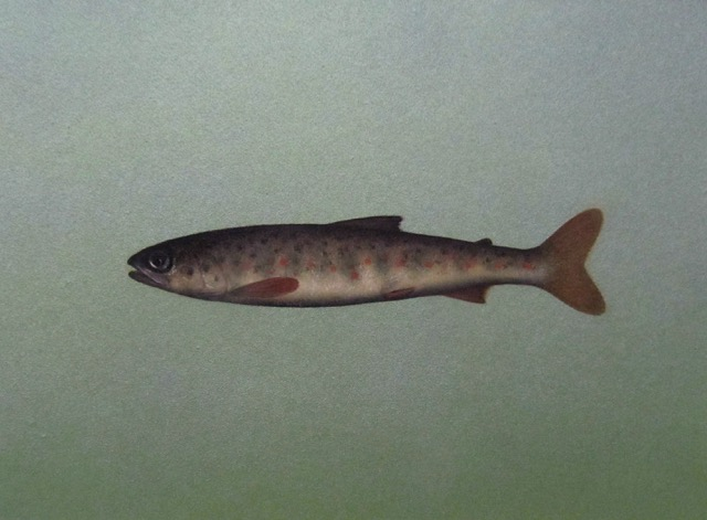 Title: Salmon Parr Size: 30.5 x 36 cm Medium: Oil on panel SOLD