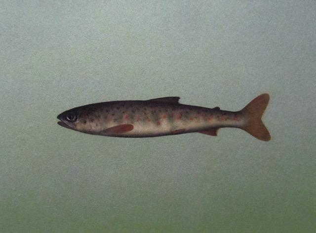 Title: Salmon Parr Size: 30.5 x 36 cm Medium: Oil on panel