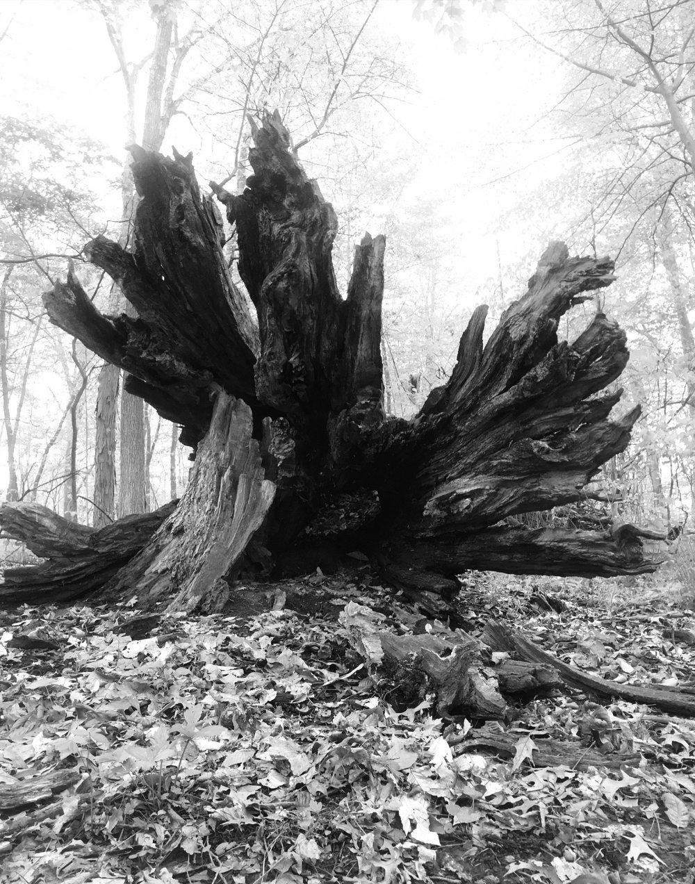 TreeFallenB&W03may43if.jpg