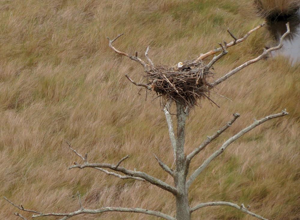 Bald_Eagle_nest.png