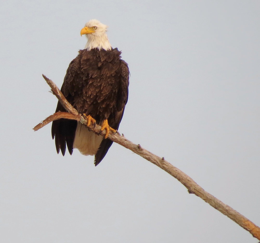 Bald_Eagle.png