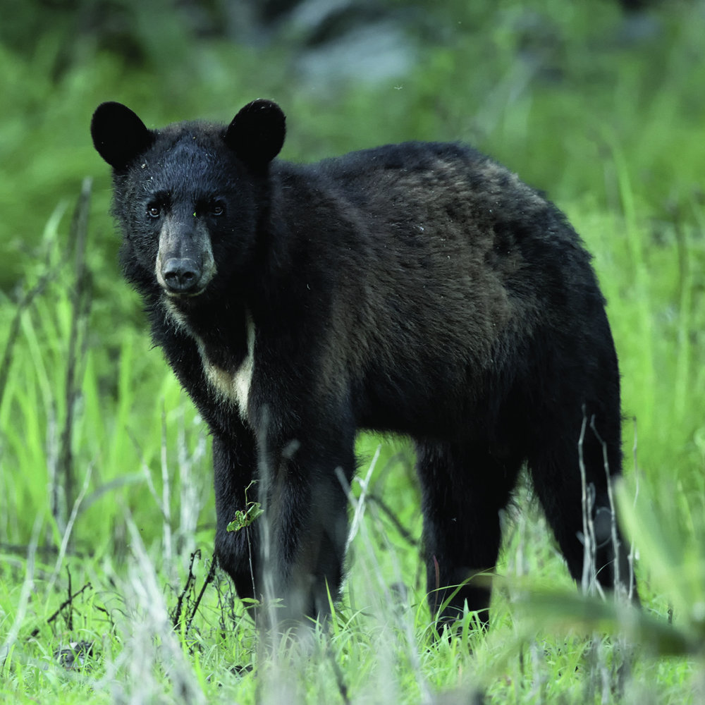 Louisiana Black Bear Program