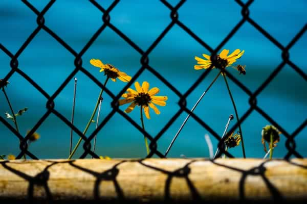 flowers growing on the other side of a chain link fence