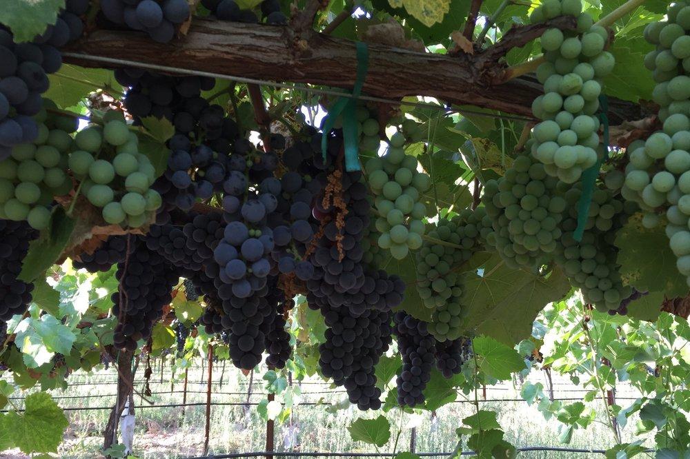 ブドウを収穫する人の目からすると、ボランティアヅルは他と相違ないように見える。色、粒の大きさ、房の大きさ、成熟時期が同じだからだ。(ボランティアヅルの熟した紫ブドウ)
