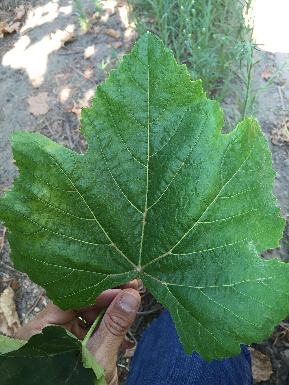 Gepflanzte Sorte mit weniger Glanz und niedrigeren Chlorophyllwerten.