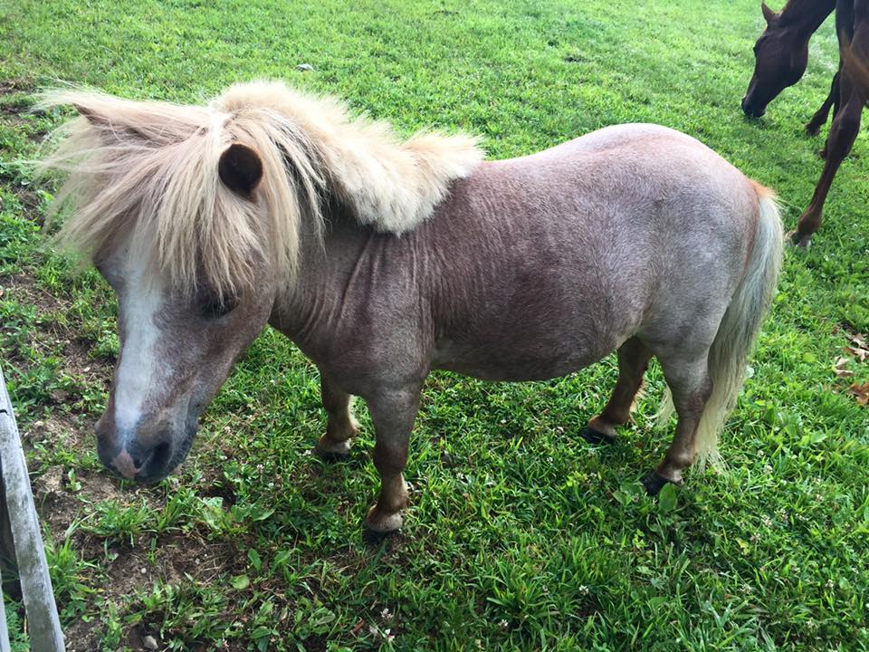 Bon Jovi is a strawberry roan miniature horse that we rescued off a Facebook group. He is a wonderful companion, but he hates grazing muzzles (can you blame him?)
