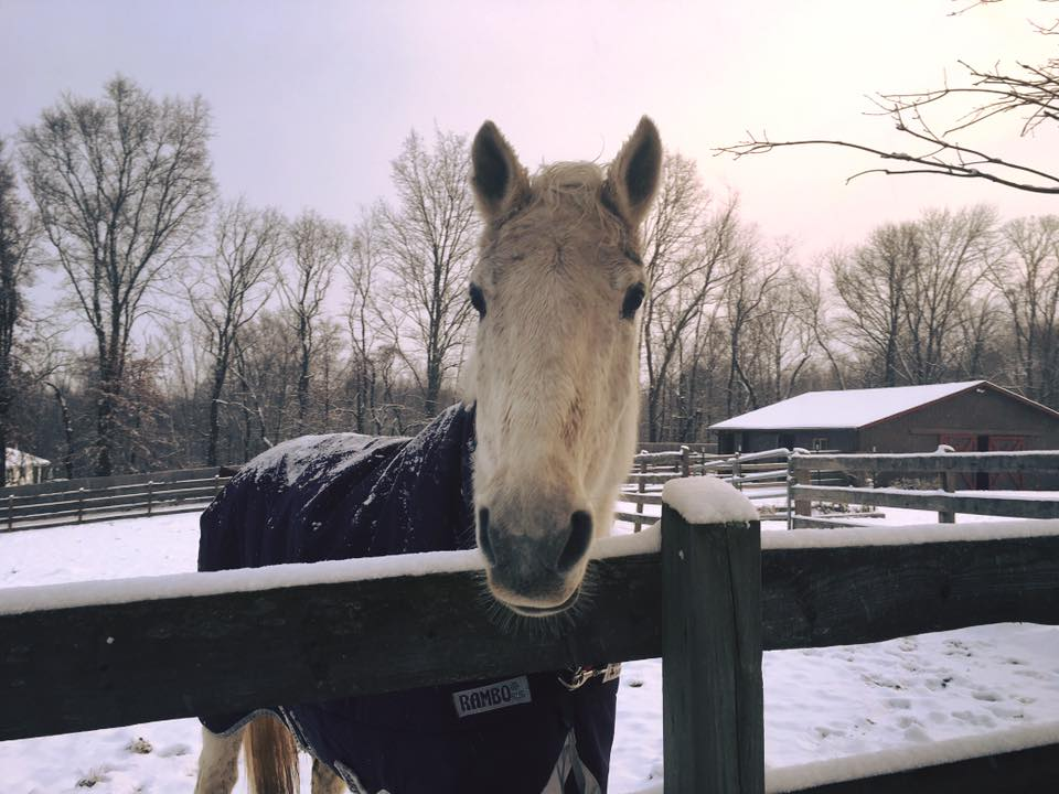 "Nelifer (""Nelly"") is a beautiful and sweet Holsteiner mare who is on winter vacation from her busy show jumping career!"