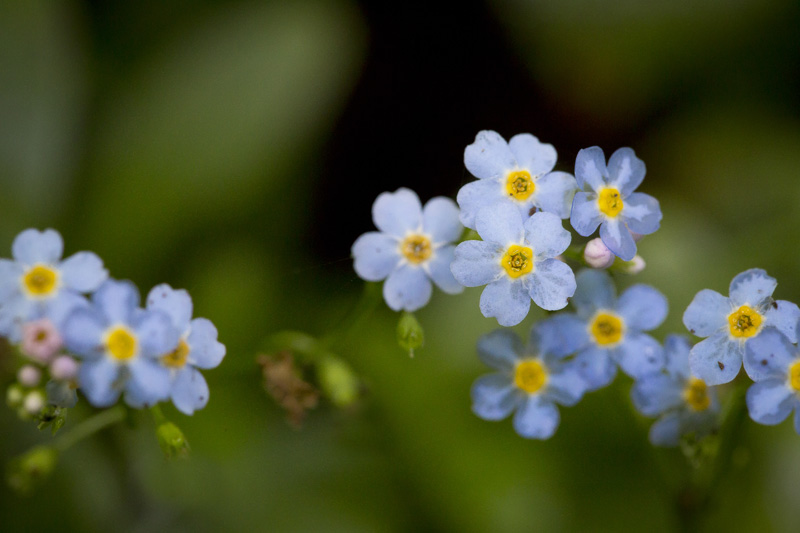 02-blue-forget-me-nots-eloise-butler-wildflower-garden-minneapolis-minnesota-melanie-mahonen-photography