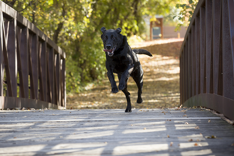 02-maple-grove-arboretum-family-session-fall-colors-bridge-dog-running-happy-melanie-mahonen-photography