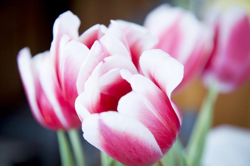 04-spring-tulips-melanie-mahonen-photography