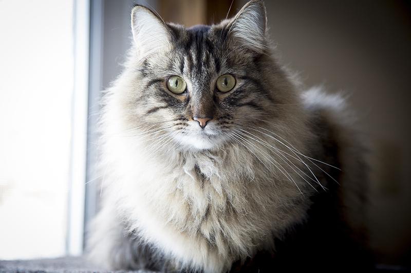 fluffly-cat-melanie-mahonen-photography