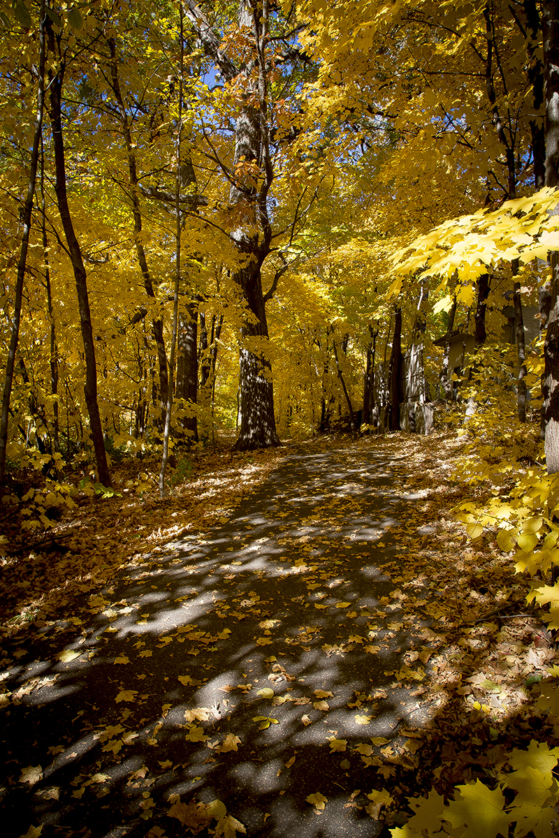 luce-line-western-minnesota-biking-trail-fall-colors-yellow-maple-leaves-canopy-melanie-mahonen-photography