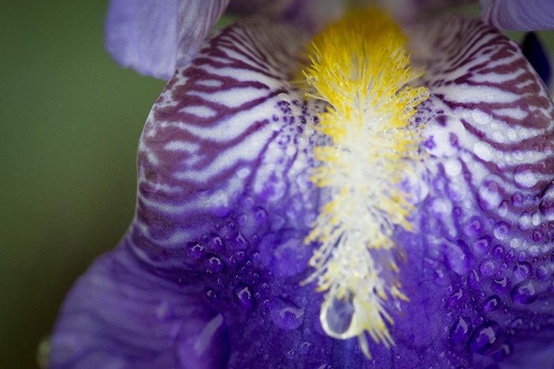 minnesota-spring-flowers-purple-irese-macro-melanie-mahonen-photography