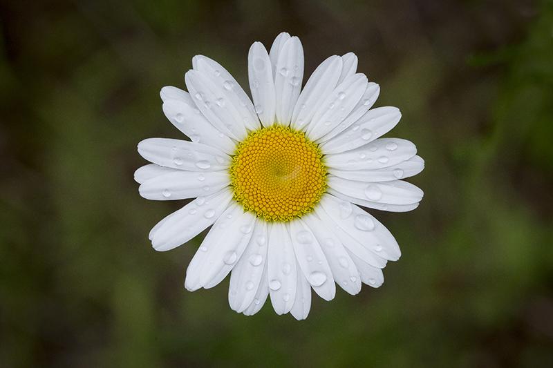 minnesota-summer-daisy-melanie-mahonen-photography