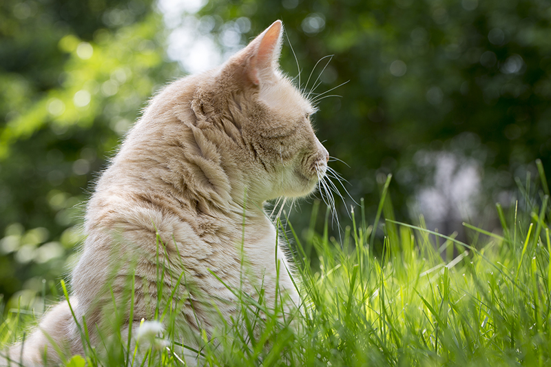 orange-cat-grass-backyard-outside-melanie-mahonen-photography