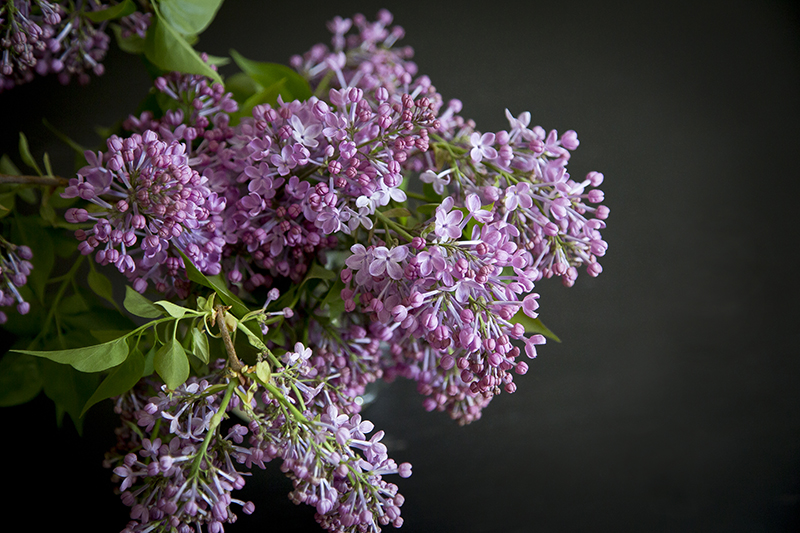spring-flowers-purple-lilacs-melanie-mahonen-photography