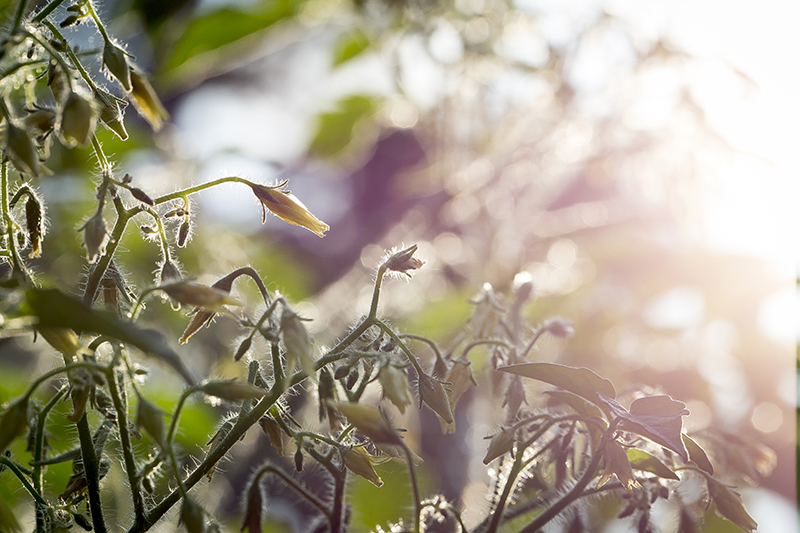 tomato-buds-backyard-gardening-melanie-mahonen-photography