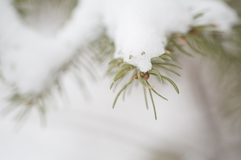 winter-walk-spruce-tree-snow-theodore-wirth-park-minneapolis-minnesota-melanie-mahonen-photography