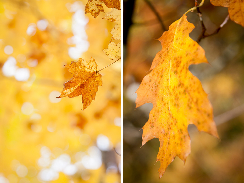 01-fall-colors-yellow-leaves-minnesota-jay-cooke-state-park-north-shore-maple-oak-melanie-mahonen-photography