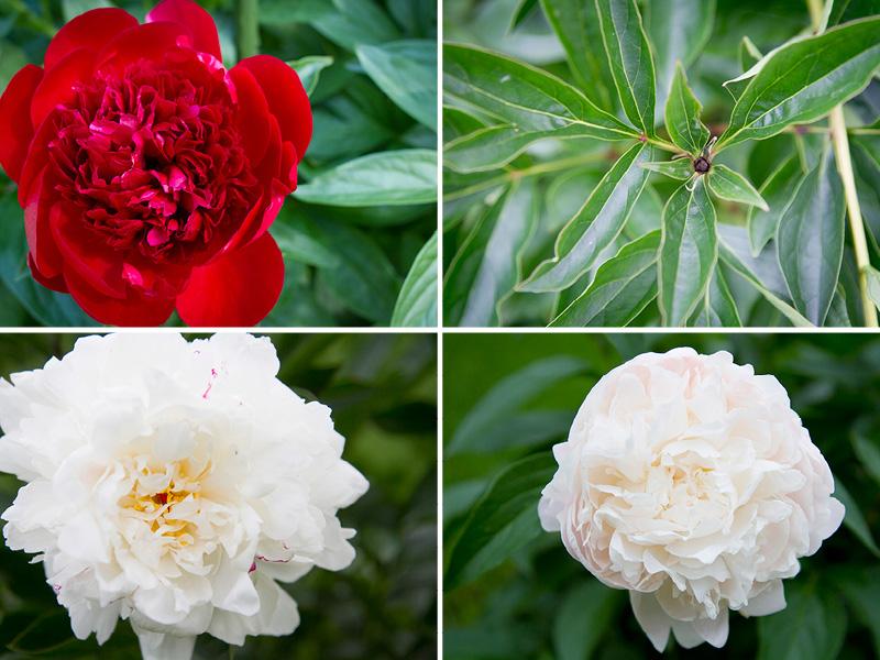 01-minnesota-spring-flowers-nature-peonies-garden-melanie-mahonen-photography