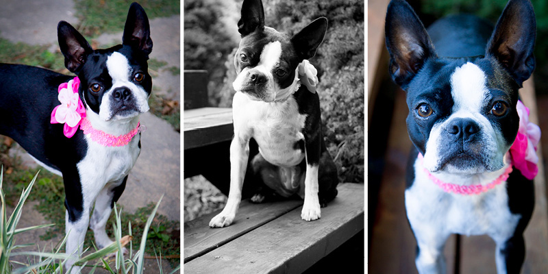 01-pet-portraits-dog-boston-terrior-melanie-mahonen-photography