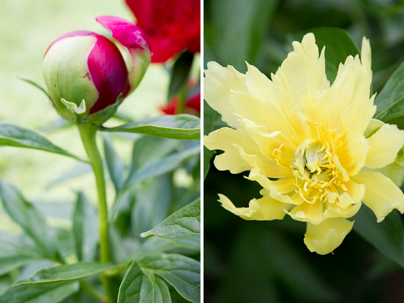 02-minnesota-spring-flowers-peonies-bud-melanie-mahonen-photography