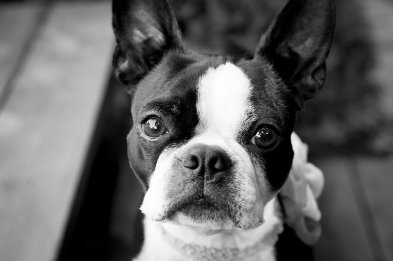 03-boston-terrior-pet-portraits-melanie-mahonen-photography