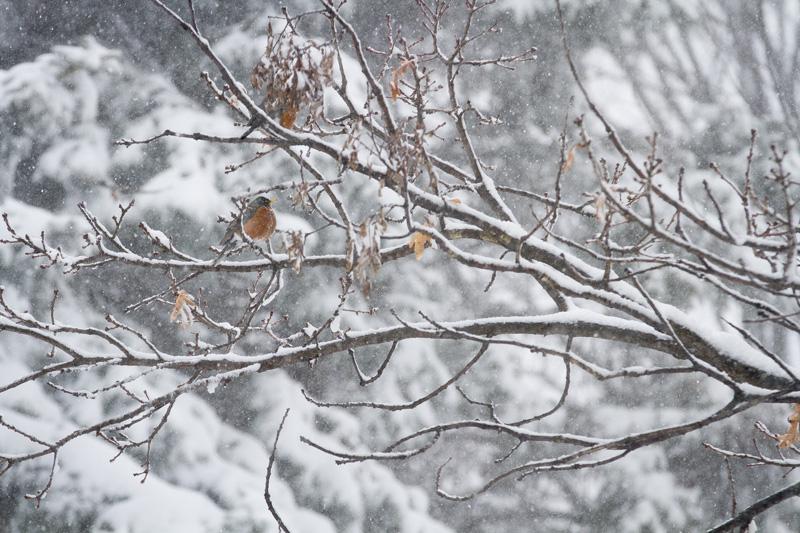 spring-robin-snow-storm-melanie-mahonen-photography