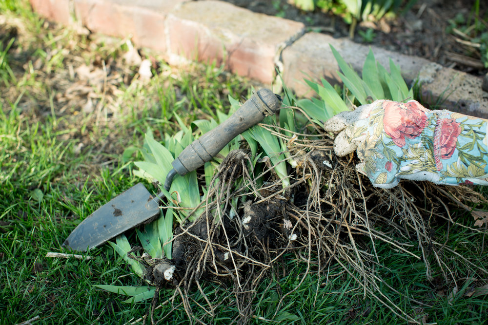 mn-iris-plants-gardening-seperating-mahonen-photography.jpg