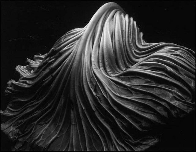 Cabbage Leaf, 1931 (39V) - Edward Weston