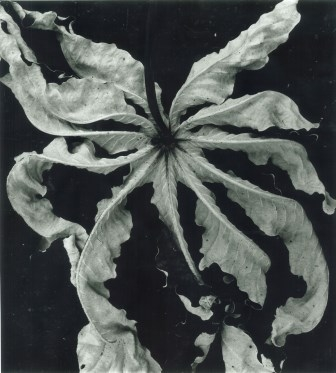 Brett Weston (1911- 1993), Untitled (Dead Leaf, Hawaii), 1985. Gelatin silver print, 11 x 14 in. © The Brett Weston Archive.  brettwestonarchive.com
