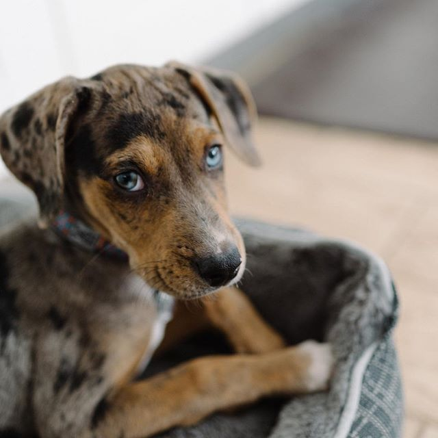 On Friday we gained a new family member, everyone please join us in welcoming Miss Clementine! She is 9 weeks old today. She is a Catahoula Leopard Dog, and has the most beautiful eyes (were already in complete love 💕 with her)! We can't wait to get to know her more and see what her personality is. . . . #newpuppy #catahoula #ClementinetheCatahoula