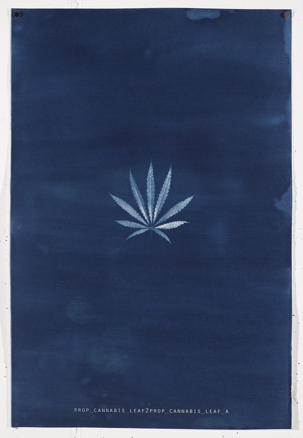CANNABIS LEAF 2017 Unique cyanotype print on Frabriano No.5.  90.4cm x 61cm