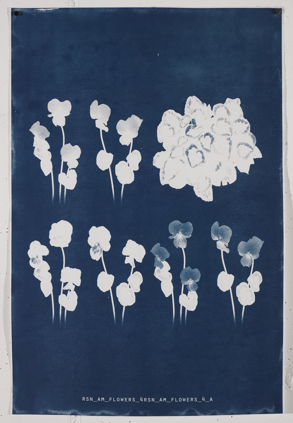 AM FLOWERS  2017 Unique cyanotype print on Frabriano No.5.  90.4cm x 61cm