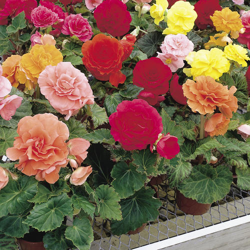 Begonia Tub non-stop mix