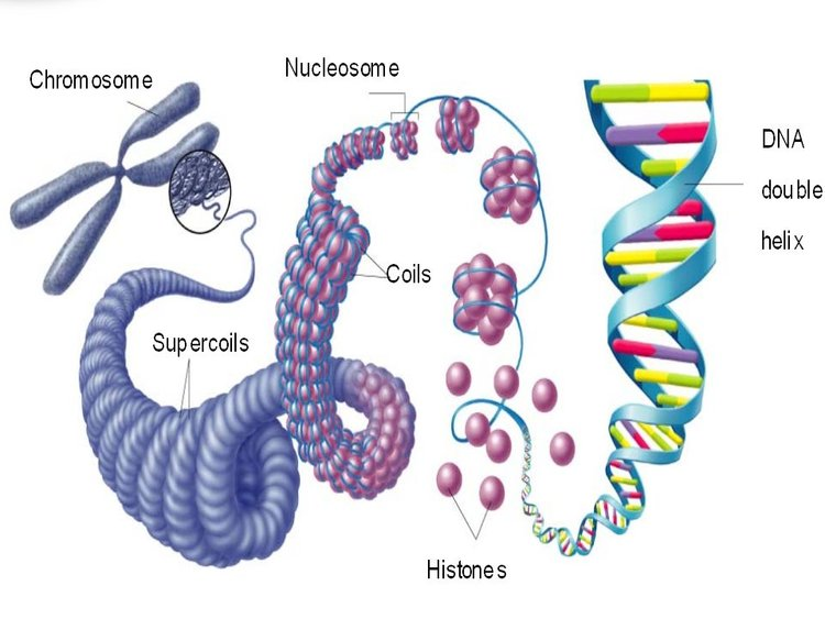 DNA is so long that it must be compacted into chromosomes so it can all fit within the cell's nucleus.