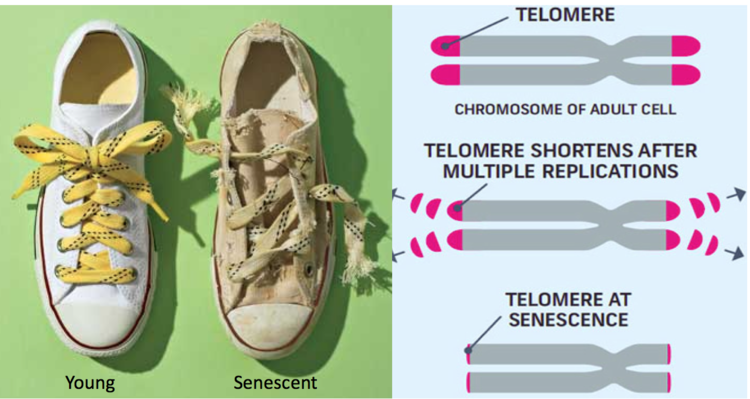 Telomeres are similar to the plastic caps protecting your shoelaces. When telomeres become too short, they can no longer protect DNA, and senescence occurs.
