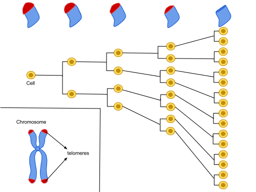Every time a cell divides, its telomeres shorten. Senescence begins when the telomeres have been nicked off.