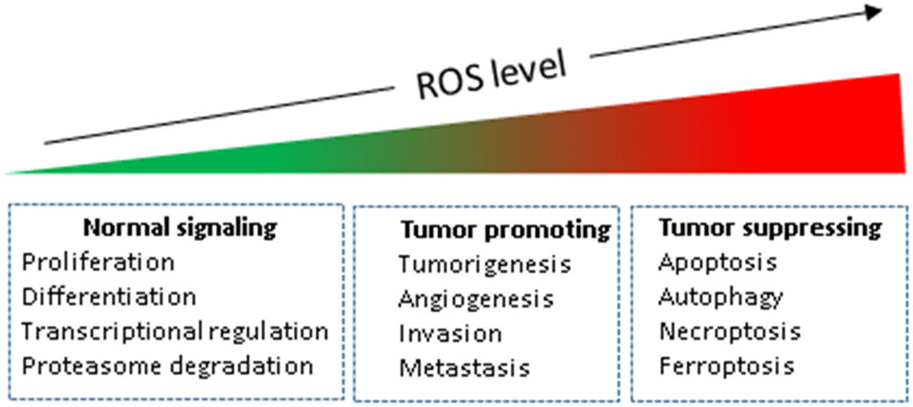 ROS is needed for normal, healthy function, from cell proliferation to keeping bacterial pathogen away. However, like anything, too much of something can be unhealthy. Too much ROS can lead to cell death and tumor formation.  Source: Galadari, S., Rahman, A., Pallichankandy, S., & Thayyullathil, F. (2017)