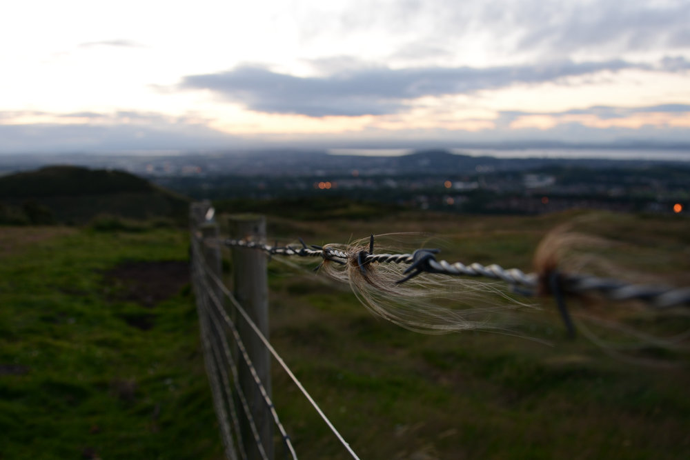 Cattle hair caught in barbed fence | Overlooking Firth of Forth and city life.Nikon D7100 (18-105mm f/3.5-5.6G ED VR Lens)
