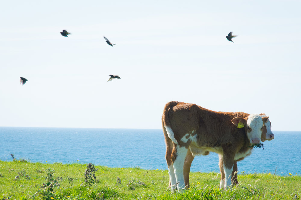 Birds in flight at lunch time |Balephuil,Tiree, Outer Hebrides.Nikon D7100 (18-105mm f/3.5-5.6G ED VR Lens)