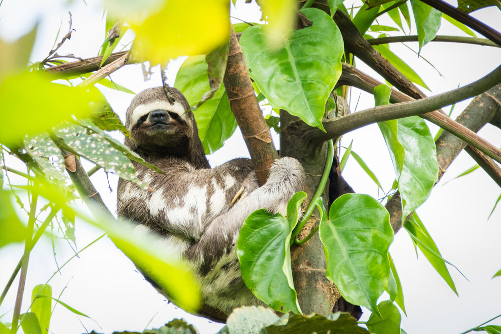 eilidh-munro-three-toed-sloth