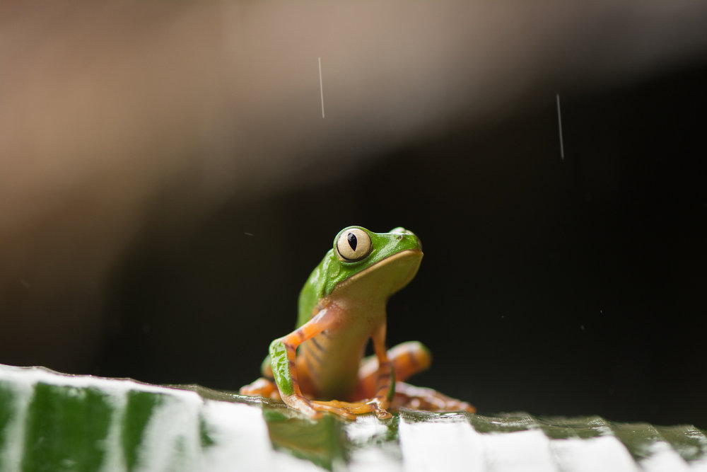 tiger-leg-monkey-tree-frog-eilidh-munro