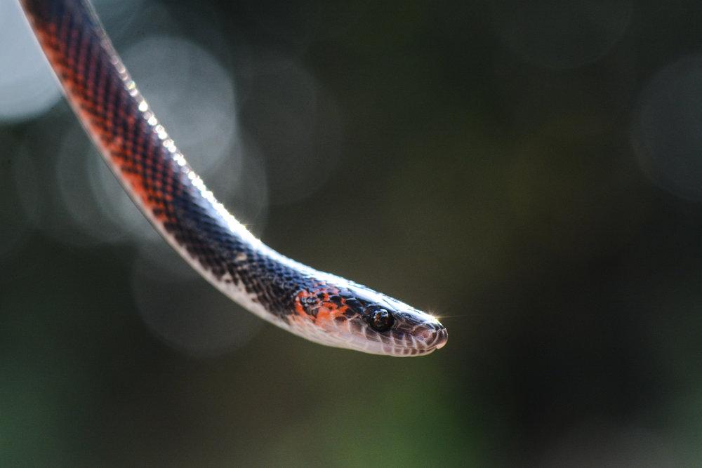 false-coral-snake-eilidh-munro