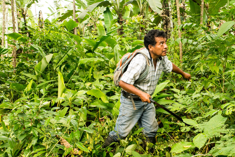 Agroforestry is a sustainable method of farming bananas, hard and soft wood trees.