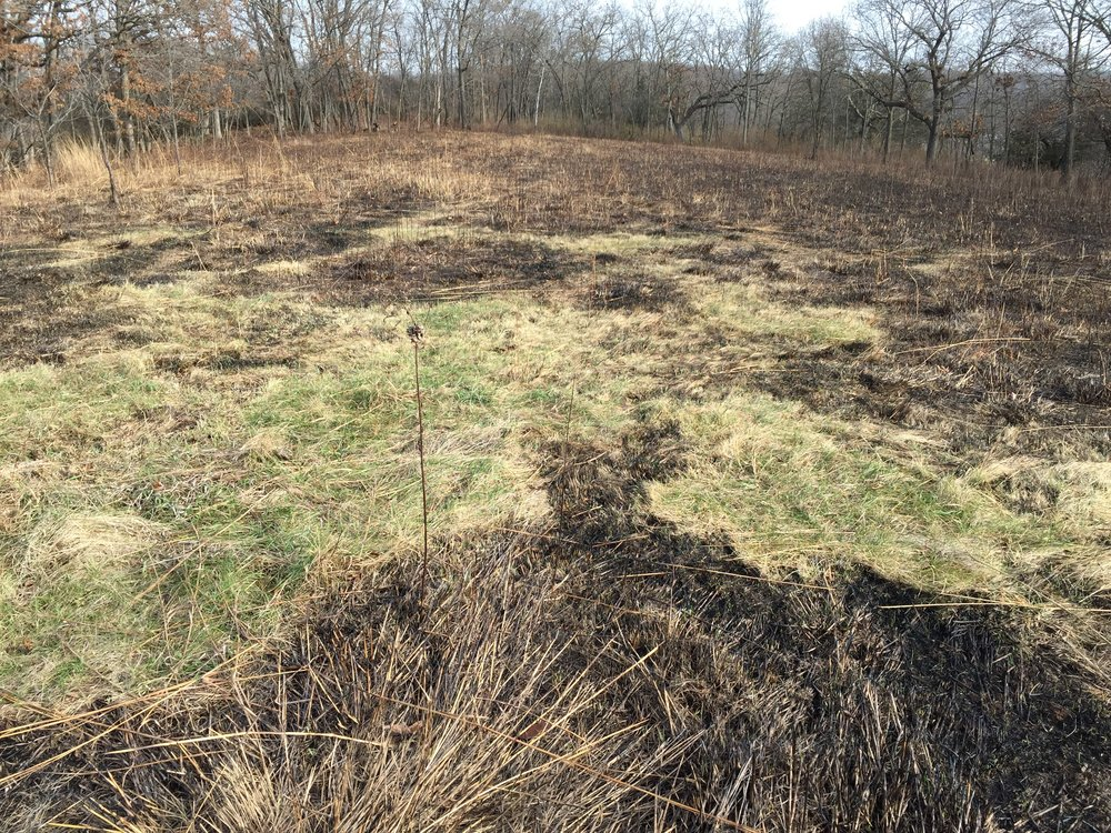 When this prairie was burned, this buck's bedroom was revealed. This makes it easy for us to determine where to put a blind in.