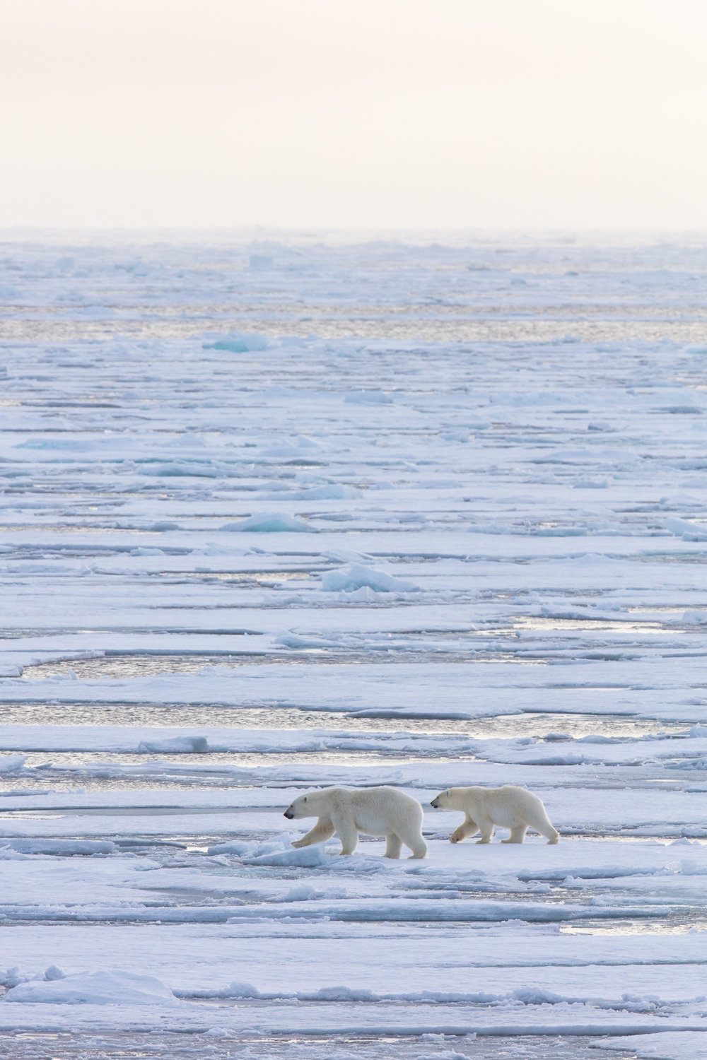 A mother polar bear guides her yearling cub among the vast islands of blue and gold ice that make up the edge of the frozen Arctic Ocean at 82°46 N. During her 30 months of motherhood, the mother bear will teach her cub how to survive and hunt in the harsh conditions of the far north. Seeing such a healthy mother and cub this year despite the poor sea ice conditions is a relieving testament to the mother's ability to care for her young in even the most difficult of circumstances. This mother and cub are among the lucky ones who were able to follow the ice as it retreated far north this summer. As sea ice becomes less reliable in the warming arctic, polar bear motherhood is increasingly a monumental challenge. Without sea ice to hunt on, a polar bear mother cannot provide enough food to care for her young, making it crucially important for people to ensure the rapidly approaching future of an ice-free arctic never comes.