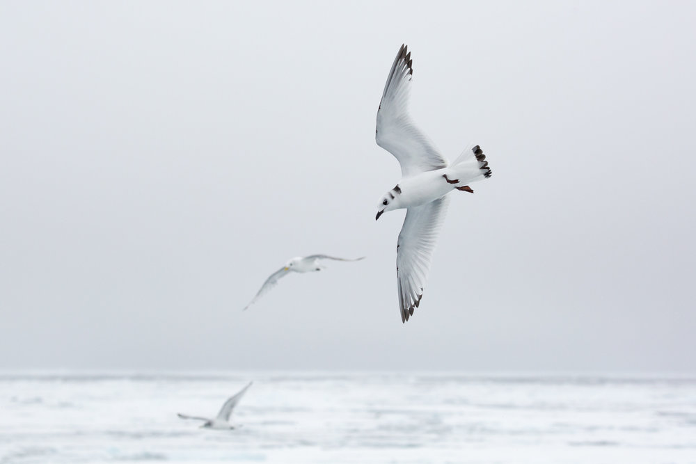 A group of Black-Legged Kittiwakes soar above the stark white expanse of the frozen ocean, searching for small fish in the rich waters beneath the icy surface. Though the sea ice may appear as a barren wasteland, a garden of life is hidden beyond view. Upon a closer look, the ice is home to one of the most vibrant ecosystems on the planet. Specialized photosynthesizing plankton (phytoplankton) depend on the ice for habitat and nutrients, just as a land-based plant uses soil. These phytoplankton form the basis of an entire food web that supports the fishes, birds, bears, and other wild creatures that have adapted to life on our planet's northern cap. Caring for the sea ice in the arctic means more than just saving polar bears. It means protecting one of the most miraculous ecosystems on earth.