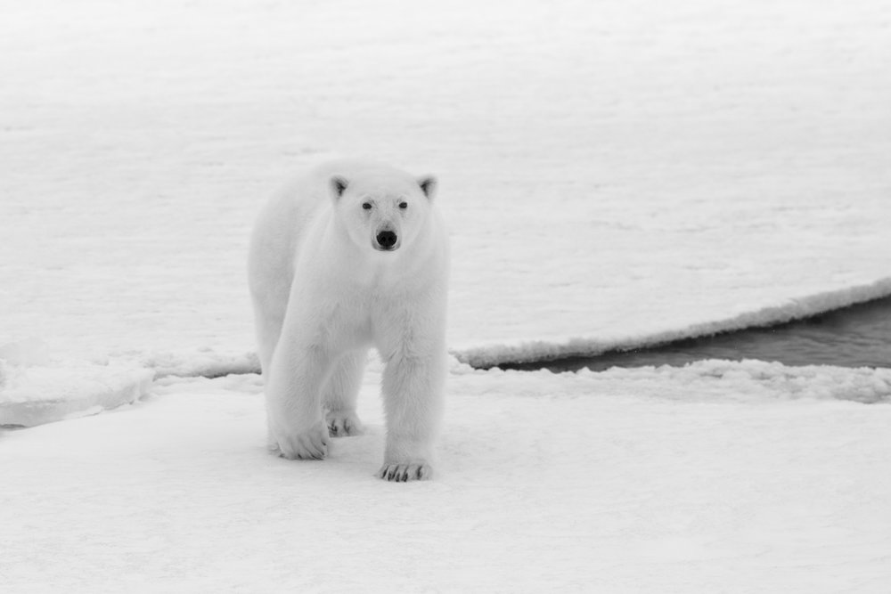 A female polar bear gracefully crosses a large crack in a floating slab of ice on the frozen ocean. The difference in reflectivity between areas of bright white on the ice and the deep black sections of open ocean are vitally important to the climate system. Ice can reflect light and heat from back out into space, moderating the climate of the entire planet. The more area that is dark ocean though, the more heat is absorbed on earth and the faster warming occurs. The struggle of polar bears and sea ice may feel like a distant, separate and invisible from our daily lives, but the earth is an intertwined system. The impacts of what happens in the Arctic matter around the globe just as our footprints around the globe will dictate the future of the Arctic.